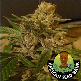 African sativa seeds