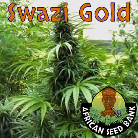 swazi gold sativa African seeds