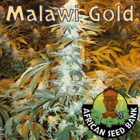 african malawi gold seeds